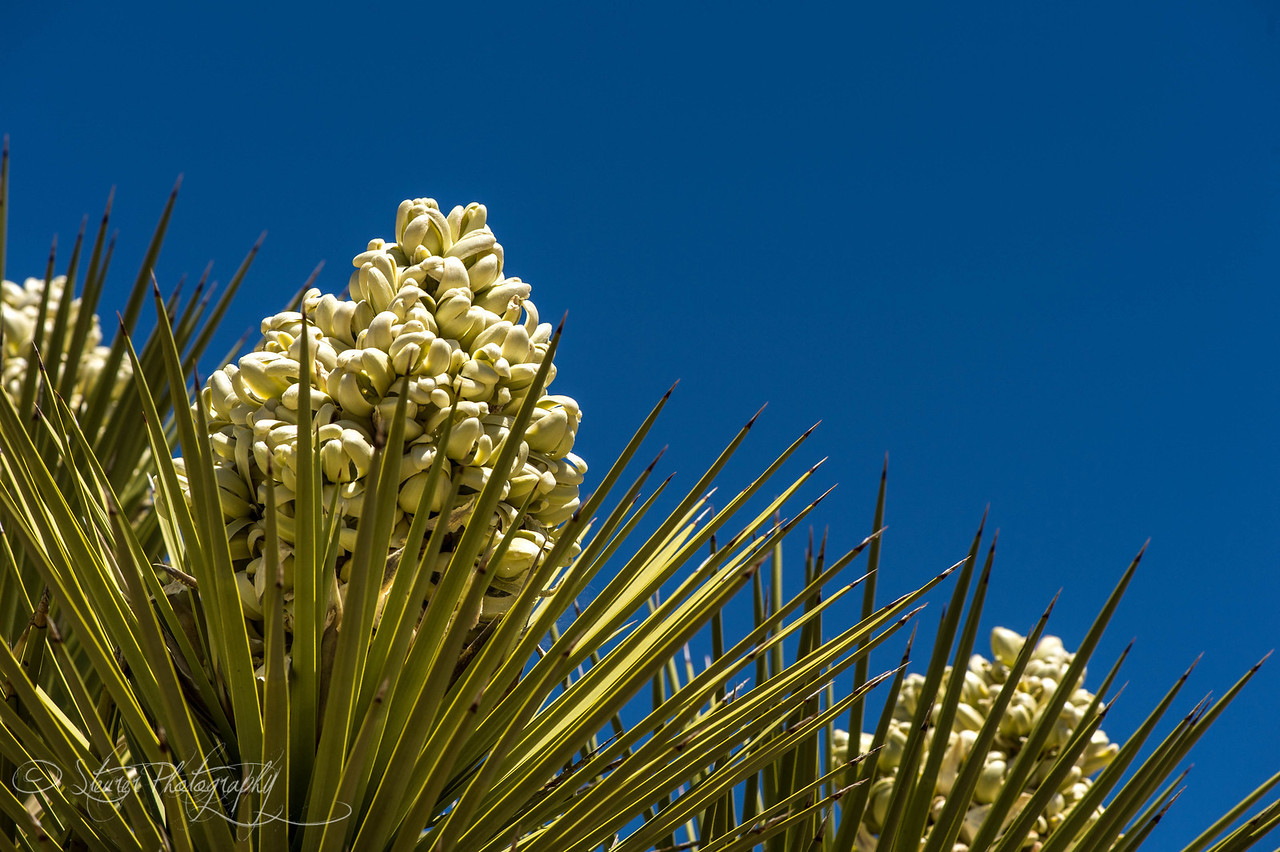 Blooming Joshua Tree - Joshua Tree NP, CA