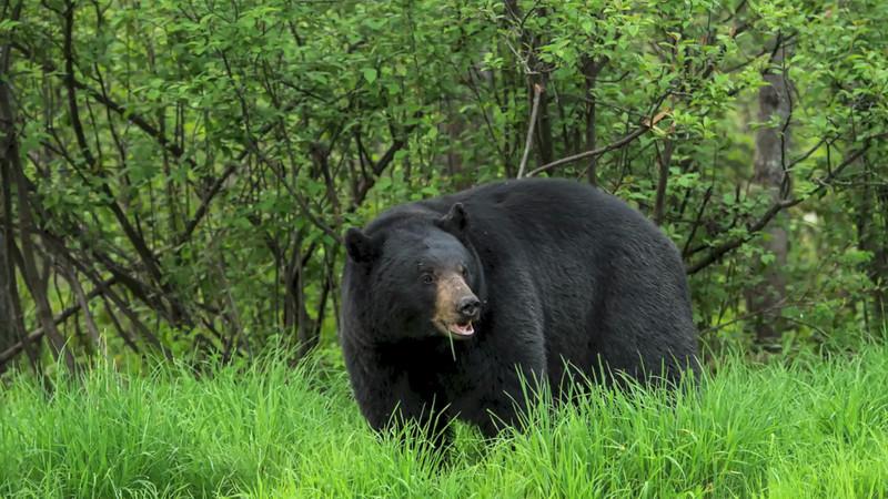 Black Bear Video 2013