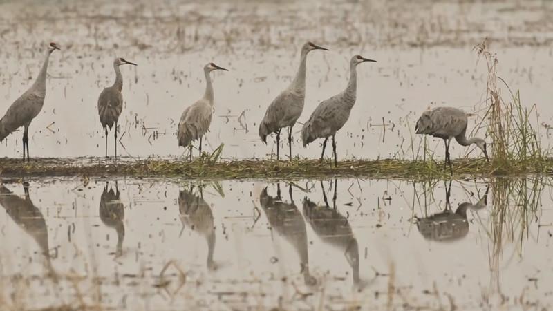 Sandhill Cranes 2015