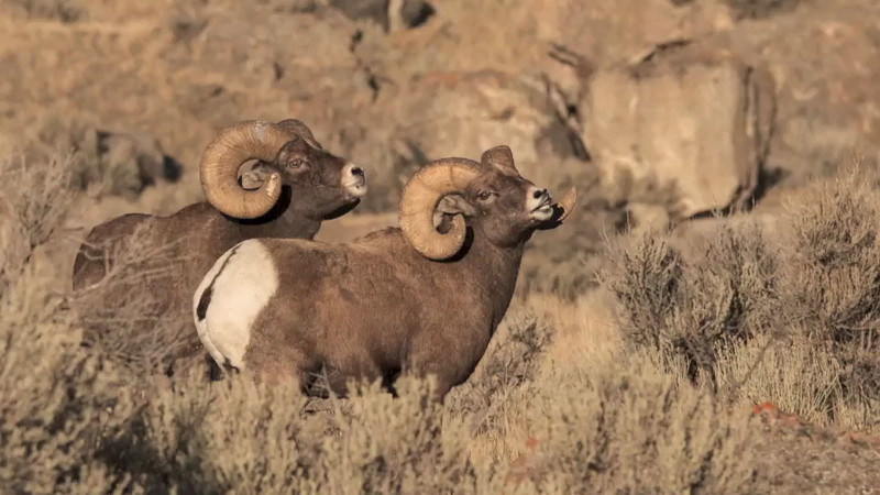Bighorn Sheep Video 2012