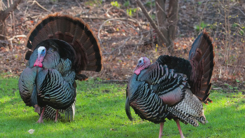 Wild Turkey Video 2013