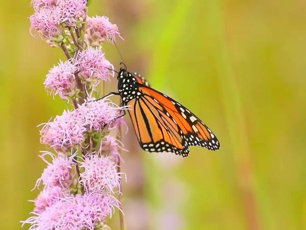 Monarchs 2016