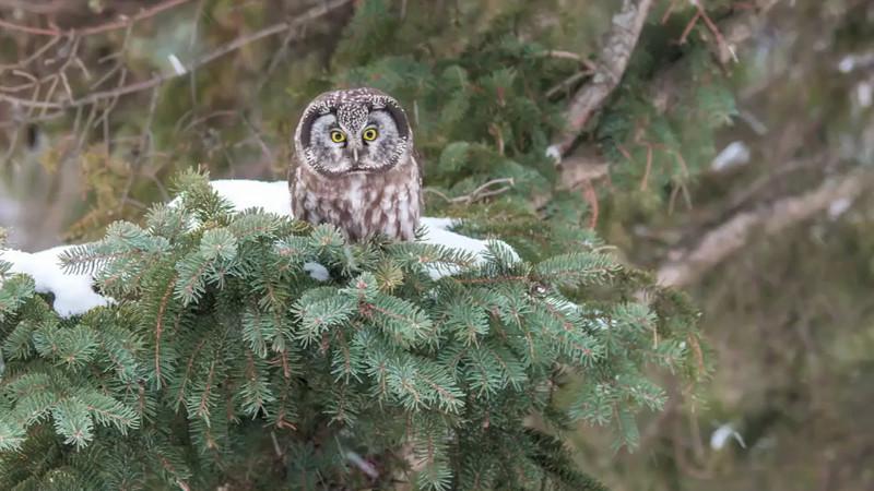 Boreal Owl Video 2013