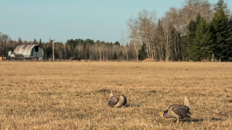 Sharp-tailed Grouse Video 2013