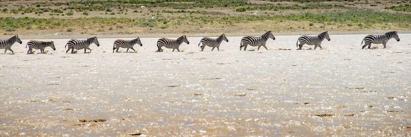serengeti zebra line