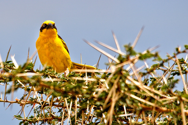 Yellow Weaver Bird