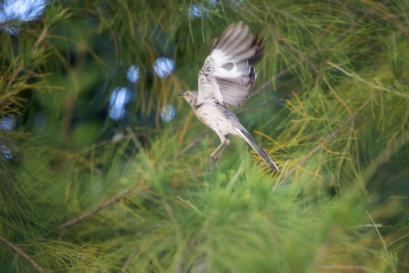 Northern Mockingbird in Flight