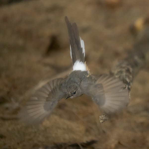 White Rumped Shama in Flight