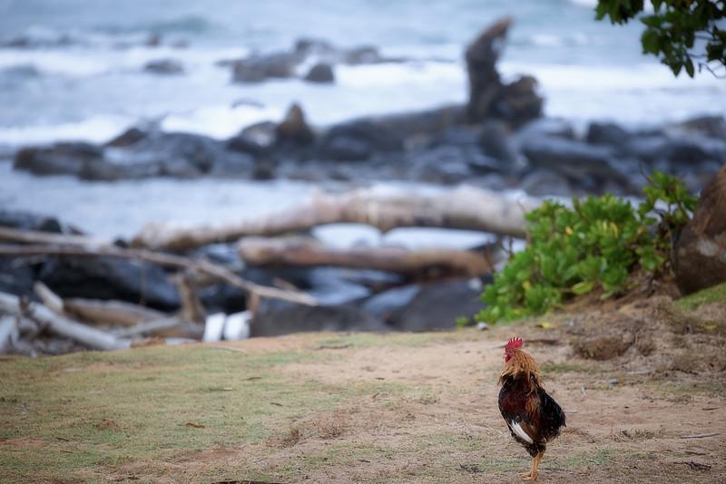 Chicken Dreams of the Ocean