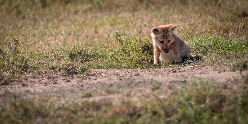 common jackal pup