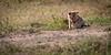 common jackal pup