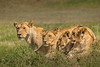 serengeti lioness and cubs