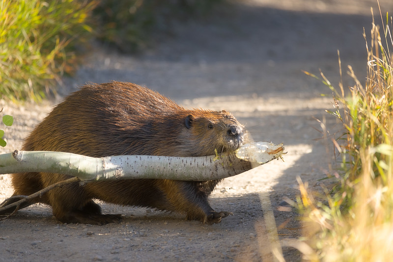 Beaver with a Tree