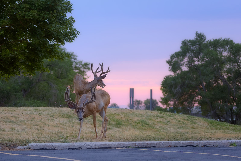 A Couple Deer at the U at Sunset