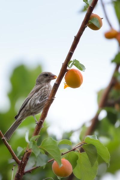 Finch Enjoying Some Pear