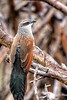 Whitebrowed Coucal