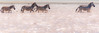wading zebras