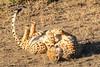 cheetah roll