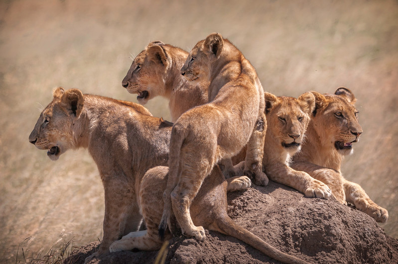 serengeti lion cubs