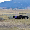 Ashleigh Fox | The Sheridan Press<br> Sarah Brownell moves cattle off the running path during the Wolf Creek Wrangle Saturday, Sept. 15, 2018. Brownell helped serve water at an aid station as part of her hours for nursing school.