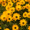Yellow Daisy Delight