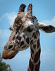 Confused Giraffe