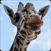 My Favorite Giraffe