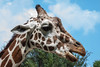 Giraffe with Something to Say
