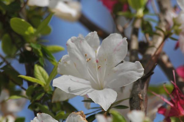 azalea_garden