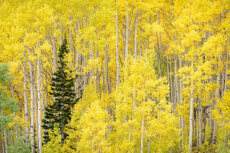 Aspen Gold in Guardsman Pass