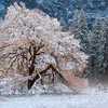 Lone Tree - Autumn Leaves with Snow