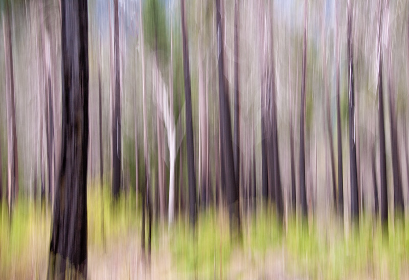 Ghost Forest - Yosemite