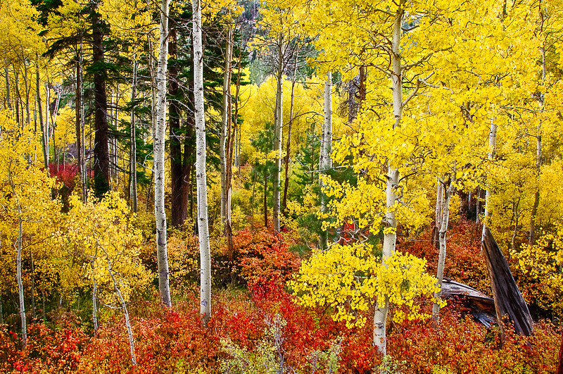 Lundy Canyon Aspens in Fall