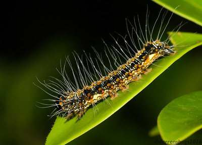Erebid moth caterpillar (Erebidae: Aganainae: possibly Asota sp.) from Siem Reap, Cambodia.