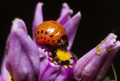 Colorado Potato Beetle larva, Leptinotarsa decemlineata, from Roseville, Minnesota.