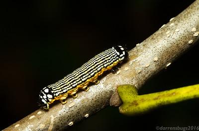 Owlet moth caterpillar (Noctuidae: Noctuinae: Phosphila sp.) from Monteverde, Costa Rica.