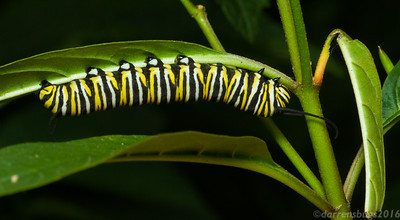 Monarch butterfly caterpillar (Danaus plexippus) feeding on tropical milkweed in Monteverde, Costa Rica.