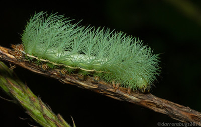Saturniid Moth caterpillar, genus Automeris, from Monteverde, Costa Rica.