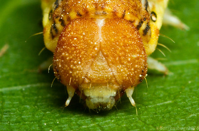Portrait of a Linden Looper Moth caterpillar, Erannis tiliaria, from Iowa.