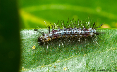 Caterpillar from Monteverde, Costa Rica.