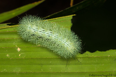 Saturniid moth caterpillar, Automeris sp., from Belize.