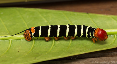 Caterpillar of the Frangipani Hawkmoth, Pseudosphinx tetrio (Belize).