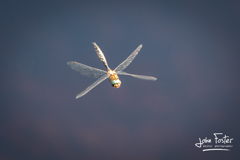 Dragon Fly shot at Lake Wilkie, Catlins