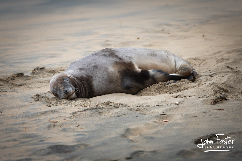 Female Hooker sea lion at rest. She wasn't to concerned about me but I still kept a safe distance.