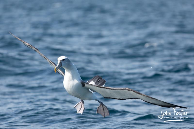 Buller's Albatross, Stewart Island