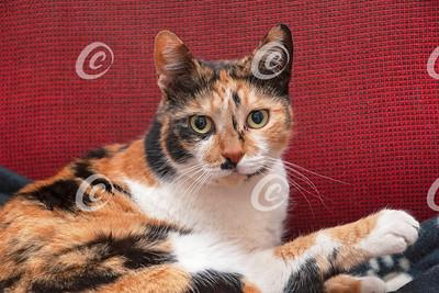Yellow-eyed Calico Cat