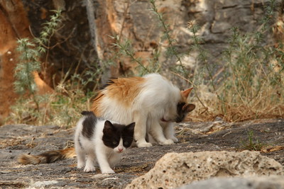 Cat with kittens en route to the Lindos Acropolis on Rhodes Island, Greece.