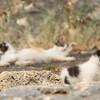 Lindos acropolis kitten, with his siblings behind him.