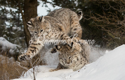 Bobcat Kittens in Snow