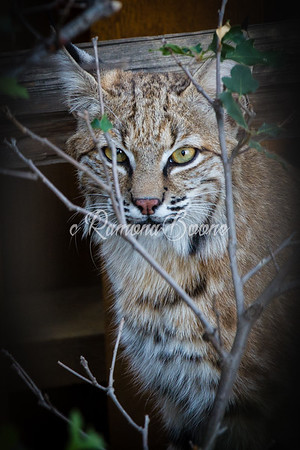 Backyard Bobcat